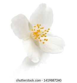 Jasmine flowers isolated on white background cutout