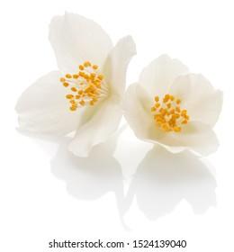 Jasmine flowers isolated on white background cutout..