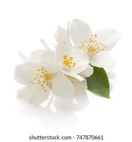 Jasmine flowers isolated on white background cutout