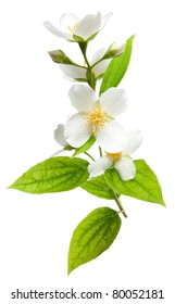 Jasmine flowers isolated on a white background.