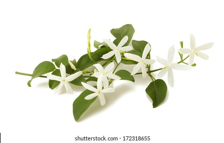 jasmine flowers on branch isolated on white