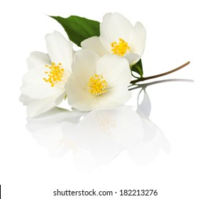Jasmine flowers on white background. Macro shot