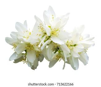 Jasmine flowers. jasmine spring flowers. Jasmine. branch of jasmine flowers isolated on white background
