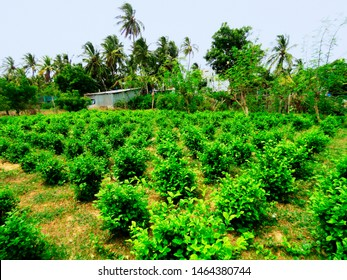 Jasmine, Jasminum sambac, cultivation, Gulf of Mannar Biosphere Reserve, Tamil Nadu, India.