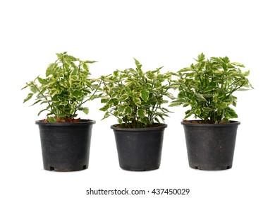 Jasmine leaf spot in pot