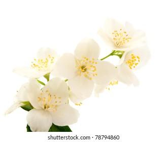 Jasmine on white background