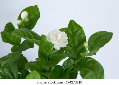 Jasmine plant on withe background