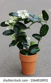 jasmine in a pot