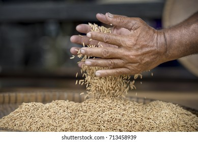 Jasmine rice from the field on woman farmer hands, a higher quality type of rice, is the rice strain most produced in Thailand.Today women are important for agriculture. Especially Thailand's field.