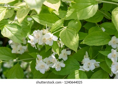 Jasmine, spring shrub with decorative yellow leaves, white flowers, Philadelphus coronarius 'Aureus'