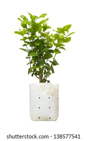 Jasmine tree in a bag  for plant isolated on white