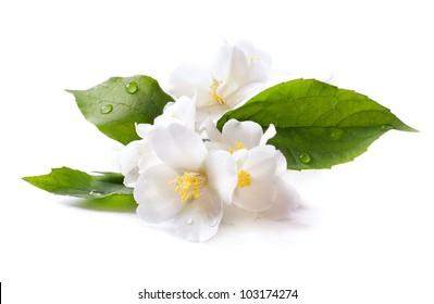 White tea images stock photos vectors shutterstock jasmine white flower isolated on white background mightylinksfo