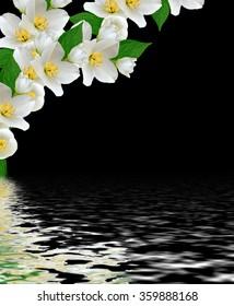 jasmine white flower isolated on black background