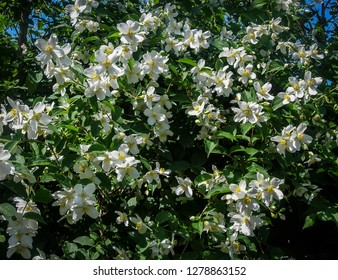 Lot of jasmine white flowers Philadelphus lewisii on the bush with a blurred background in the sping garden. Selective focus