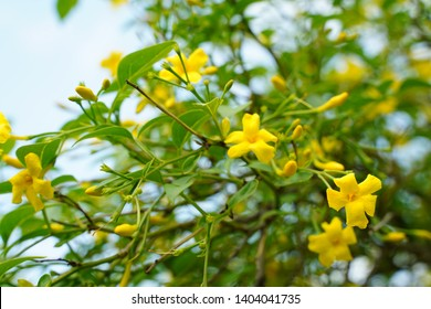 Jasminum humile var. revolutum is blooming at botanical garden in Tokyo Japan in May. Yellow small flowers.