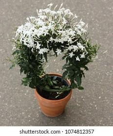 Jasminum polyanthum in a pot