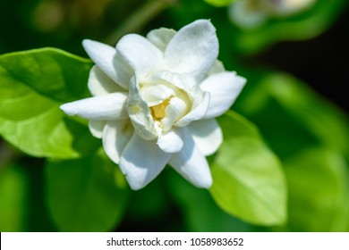 Jasminum sambac (Jasmine, Arabian jasmine, sampaguita, melati putih) ; Inflorescence white petals overlapping dense. The bracts are linear. The calyx is bell-shaped. very fragrant. close up