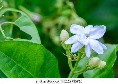 Jasminum sambac (Jasmine, Arabian jasmine, sampaguita, melati putih) ; Inflorescence white petals overlapping. The bracts are linear. The calyx is bell-shaped. fragrant. close up, natural sunlight.