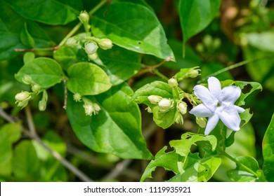 Jasminum sambac (Jasmine, Arabian jasmine, sampaguita, melati putih) ; Inflorescence white petals overlapping. The bracts are linear. The calyx is bell-shaped. together with buds flower on tree.