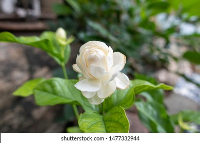 Jasminum sambac is a species of jasmine native to a small region in the eastern Himalayas in Bhutan and neighbouring Bangladesh, India, and Pakistan.
