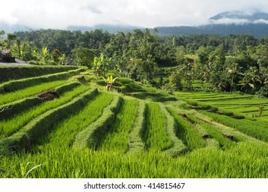 jatiluwih rice terraces very beatyful