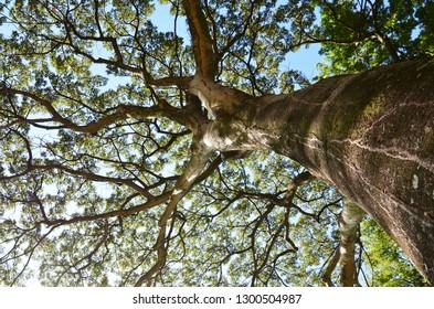 Jatoba tree in Goiania, Brazil