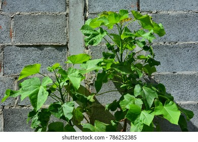 Jatropha Curcas alternative energy plant oil  , common names in English include physic nut, Barbados nut, poison nut, bubble bush or purging nut. Can use for alternative energy concept.