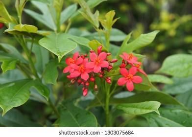 Jatropha integerrima or peregrina or spicy jatropha plant