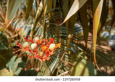 Jatropha podagrica, Buddha belly plant, bottleplant shrub, gout plant, purging-nut, Guatemalan rhubarb, and goutystalk nettlespurge