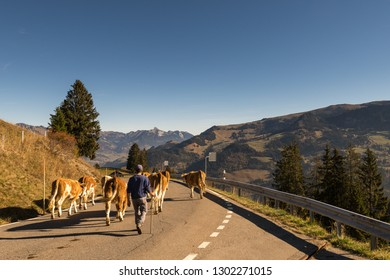 Jaunpass, Simmental, Bernese Oberland, Alps, Switzerland, Oct. 2018, shepherd brings cattle herd from the pasture in autumn