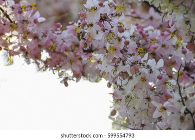 Java Cassia, Pink Shower, Apple Blossom Tree, Rainbow Shower Tree, Dark pink flowers When not blooming leaves. The drug can be used to make medicines. It is native to Indonesia and Southeast Asia.