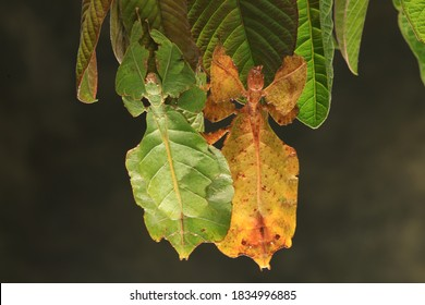 Java leaf insect (Phyllium pulchrifolium),they are called leaf insects because their large,leathery fore wings have vienson particulartype of leaves they inhabit.
