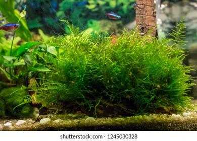 Java moss / Vesicularia in aquarium