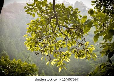 java plum fruit tree Jambolan plum (Syzygium cumini) commonly known as black plum.