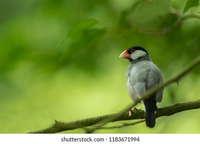 java sparrow with beautiful background, asian sparrow in green, attractive scene with java sparrow
