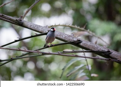 Java sparrow bird sitting on branch in aviary