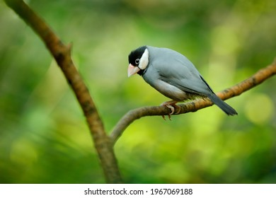 Java sparrow, Padda oryzivora, grey bird sitting on the branch in the forest habitat. Sparrou from Java island in Indonesia, Asia. Widlife nature, bird in green vegetation.