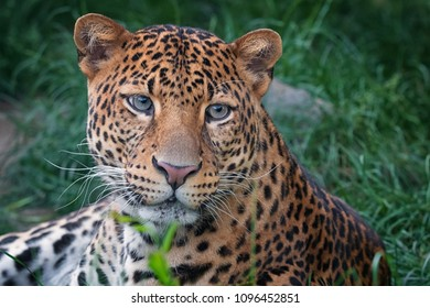 Javan leopard with nice look in the forest