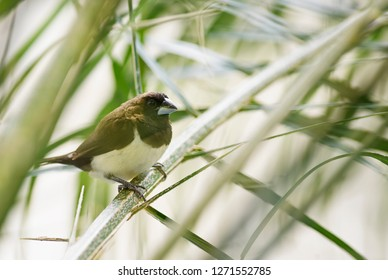 Javan Munia - Lonchura leucogastroides, beautiful brown and white small bird from Indonesian gardens and bushes, Bali.