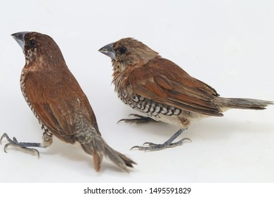 The Javan munia (Lonchura leucogastroides) is a species of estrildid finch found in Southern Sumatra, Java, Bali and Lombok, Indonesia. isolated on white background