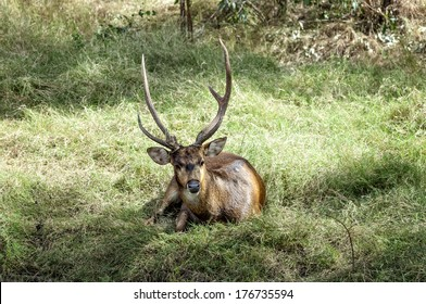 Javan rusa deer (Rusa timorensis) , male, resting on the meadow after fighting with another buck