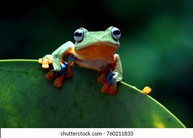 Яван дерево лягушка, летающая лягушка, лягушка лягушка