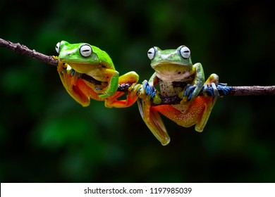 javan tree frog, wallace frog, flying frog, racophorus reinwardti, two frog