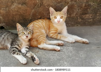 Javanese cat.  Central Java.  Indonesia.