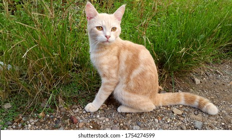 A Javanese cat with white and brown fur and head. The type of cat that only lives in Southeast Asia