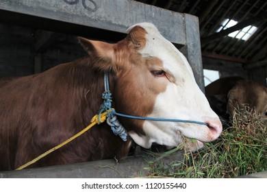 Javanese Cow Wallpaper