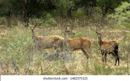 Javanese deer or sambar Sunda (Cervus Timorensis russa) is a type of deer that is endemic in the regions of Java.