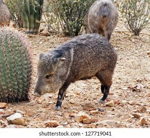 Javelina approaches a fishhook barrel cactus