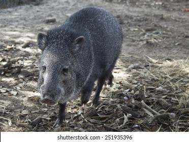 Javelina peccary family - Image shot in Bayou Wildlife Park