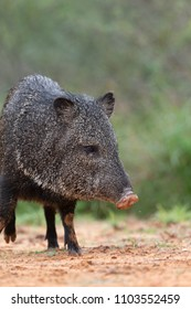 javelina or skunk pigs in Southern Texas